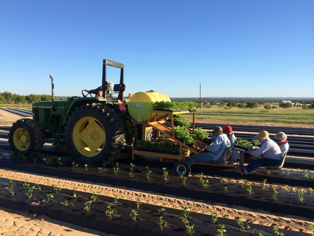 Best strawberries to grow in texas - October 16 2014 Planting Strawberries